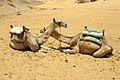 Camels in Nubian desert, Aswan, Egypt.jpg