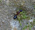 Camponotus species - Flickr - gailhampshire.jpg