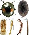 Canadian beetles (10.3897-zookeys.894.37862) Figures 33, 34.jpg