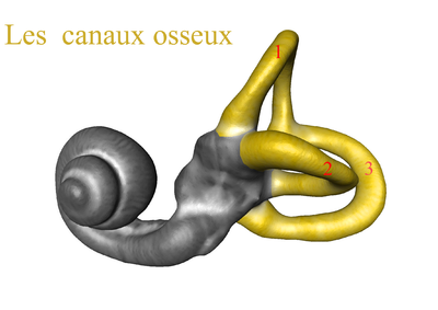 Canaux osseux.png
