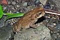 Cane toad (Rhinella marina) (9575448703).jpg