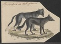Canis lycaon - 1834 - Print - Iconographia Zoologica - Special Collections University of Amsterdam - UBA01 IZ22200377.tif