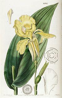 Canna flaccida (C. reeversii) Edwards's Bot. Reg. 23. 2004. 1837