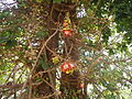 Cannon Ball Tree.JPG