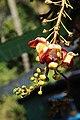 Canon ball tree flower (Couroupita guianensis (32024415220).jpg