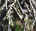 Caragana arborescens Pendula.jpg