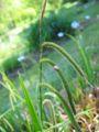 Carex pendula.jpeg
