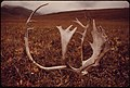 Caribou Shed Their Antlers Annually; They Can Be Found Almost Anywhere on the North Slope, Or Here, in the Atigun Valley the Site of Pump Station -4 Appears on the Skyline of the Hill in the Background 08-1973 (3972018024).jpg
