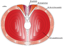 Cross-section of the tail muscles