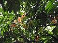 Castanospermum australe-2-cubbon park-bangalore-India.jpg