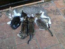 Gatons mamant llet comportament típic dels mamífers