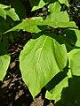 """Catalpa bignonioides """"Aurea"""" (Bignoniaceae) (leaves).JPG"""