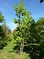 Catalpa fargensii, forma duclouxii (Bignoniaceae) (tree).JPG