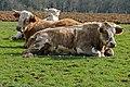 Cattle (25931843766).jpg