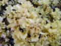 Cauliflower Mushroom Sparassis crispa.png