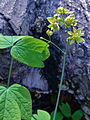 Caulophyllum thalictroides - Blue Cohosh 2.jpg
