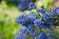 Ceanothus Bleu.jpg