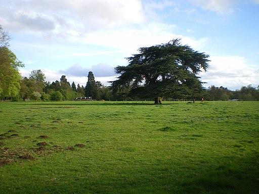 Cedar tree at Patshull Park - geograph.org.uk - 1834748