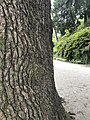 Cedro del Libano - tronco.jpg