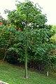 Ceiba (Ceiba pentandra) - Individuo joven (14725948921).jpg