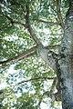 Ceiba Tree - panoramio.jpg
