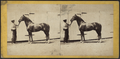 Celelbrated Stallion 'TIPPOSAIB.', by E. & H.T. Anthony (Firm).png
