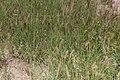 Cenchrus ciliaris-2143 - Flickr - Ragnhild & Neil Crawford.jpg