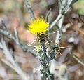 Centaurea cf. solstitialis - Flickr - S. Rae.jpg