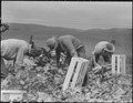 Centerville, California. Japanese field laborers packing cauliflower in field on large-scale ranch . . . - NARA - 537664.tif