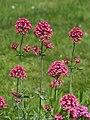 Centranthus ruber Ostrogowiec czerwony 2015 02.jpg