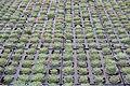 Centre horticole de la Ville de Paris a Rungis 2011 146.jpg