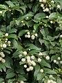 Cephalanthus occidentalis (পানী কদম ১).jpg