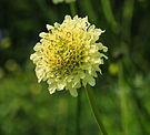 Cephalaria dipsacoides. Locatie, De Kruidhof Buitenpost.jpg