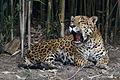 Chapultepec Zoo - Jaguar (02).jpg