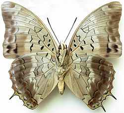 Charaxes catachrous verso.jpg