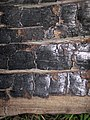 Charcoal from 1980s forest fire (Yellowstone, Wyoming, USA) 4 (35474738231).jpg