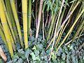 Chaume de bambou bamboo stalk VAN DEN HENDE ALAIN CC BY SA 40 02003.jpg