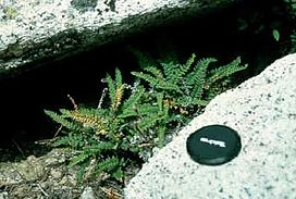 Cheilanthes gracillima.jpg
