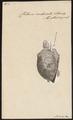 Chelonia imbricata - 1700-1880 - Print - Iconographia Zoologica - Special Collections University of Amsterdam - UBA01 IZ11600197.tif