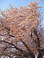 Cherry Blossom 2009 - panoramio.jpg
