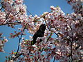 Cherry Blossom DC 2014 (13914291268).jpg