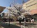 "Cherry Blossoms ""Seichozakura"" in front of Nishitetsu-Kashii Station 3.jpg"