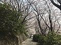 Cherry blossoms in Sasayama Park 3.jpg