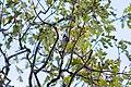 Chestnut-backed chickadee (38472283281).jpg