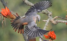 Chestnut-tailed starling, Satchari National Park.jpg