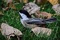 Chickadee (22035171870).jpg