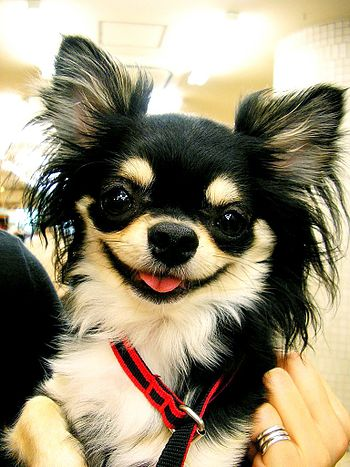 A male long-haired Chihuahua named Jack.