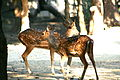 Chital deer at the Kanpur Zoological Garden, India.jpg