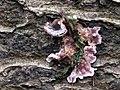 Chondrostereum purpureum 105906090.jpg