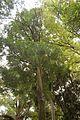 Christchurch Botanic Gardens, New Zealand section, matai trees 2016-02-04-2.jpg